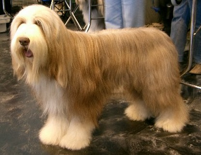 bearded collie dog