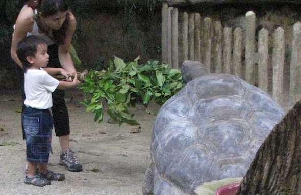 Giant tortoise at the singapore zoo