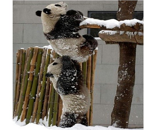 A friend in need is a friend indeed in the Panda world too